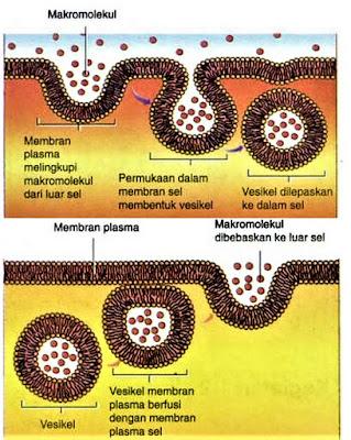 Edositosis dan eksositosis