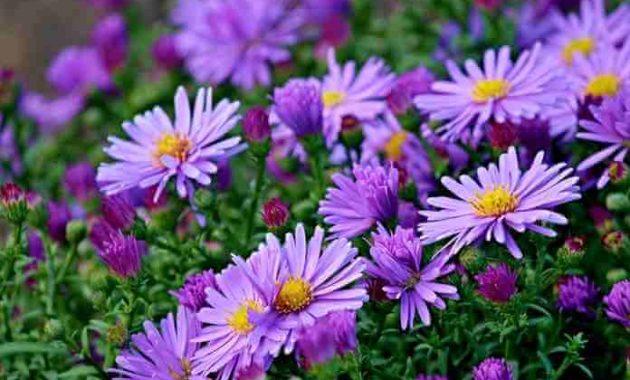 Ciri Ciri Bunga Aster