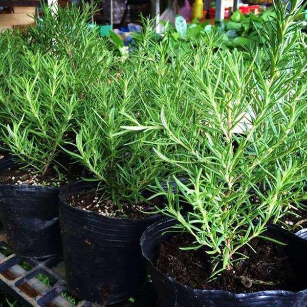 Kiến 3 khoang sợ nhất mùi của 6 loại cây này, trồng ngay để bảo vệ gia đình