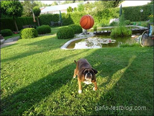 Boxer Amy beim Ballspielen