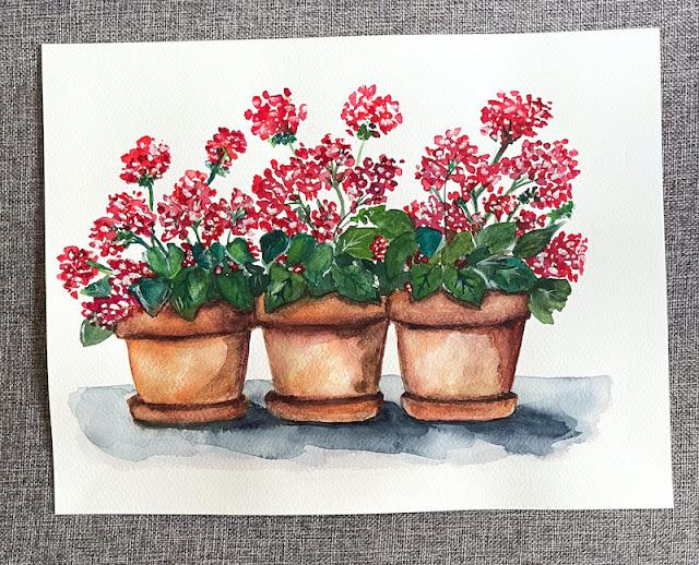 Geraniums in terracotta pots