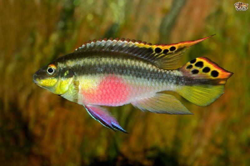 33. Jenis Ikan Hias Aquascape Kribensis