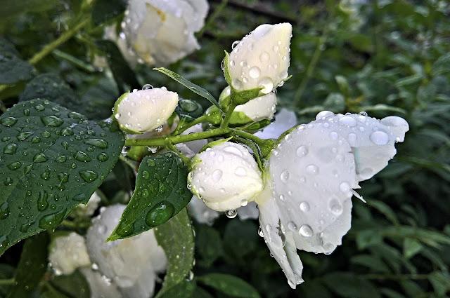 jasmine pictures