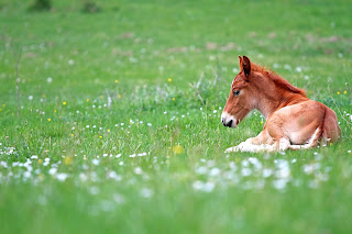 https://www.dreamstime.com/stock-photo-foal-resting-baby-horse-greeen-meadow-image54316191/#res1853317