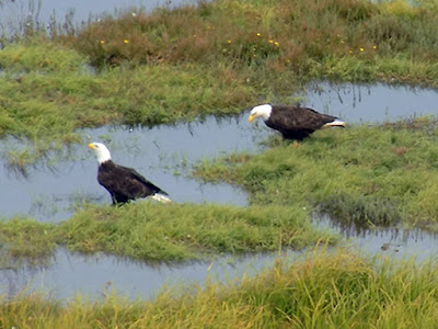 Eagles Enjoying the Wetlands Infront of our RV