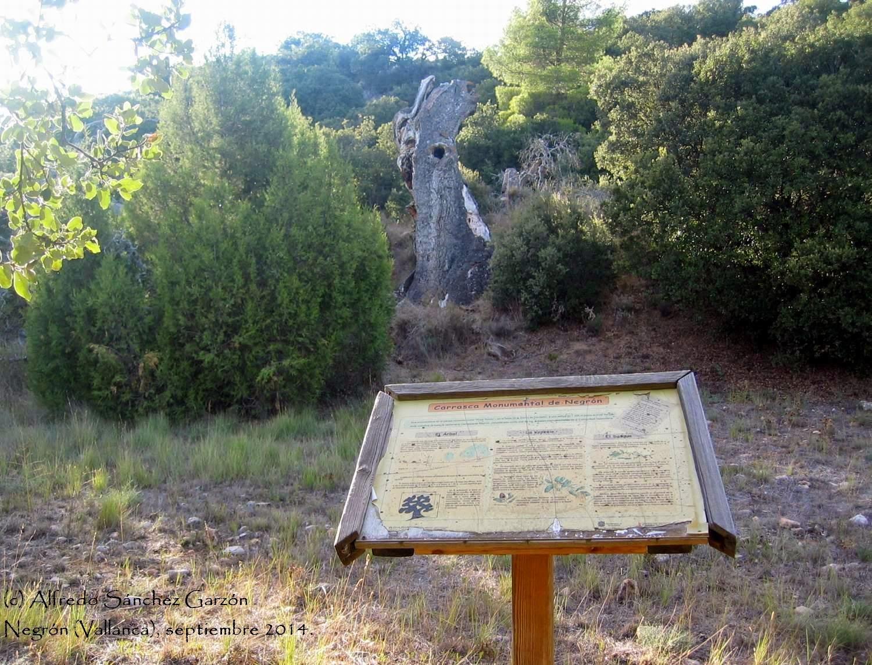 negron-carrasca-vallanca-arbol-monumental