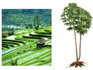 tanah indonesia  yang sangat subur www.simplenews.me