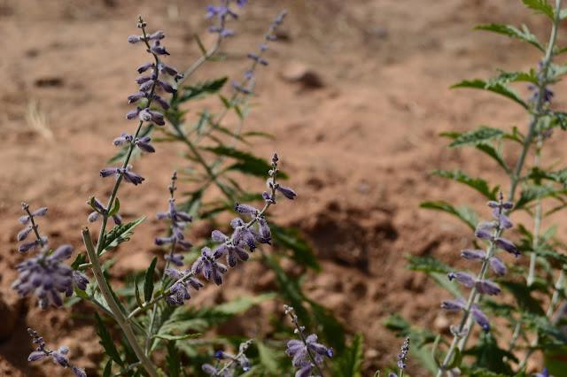 Perovskia, Perovskia atriplicifolia, drought-tolerant