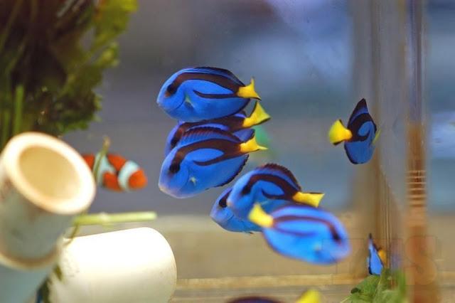 5 Fakta Unik Blue Tang, Ikan 'Dory' Lucu yang Ternyata Berbahaya
