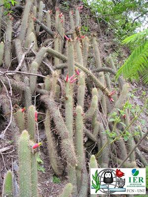 Flor de esmeralda (Cleistocactus smaragdiflorus)