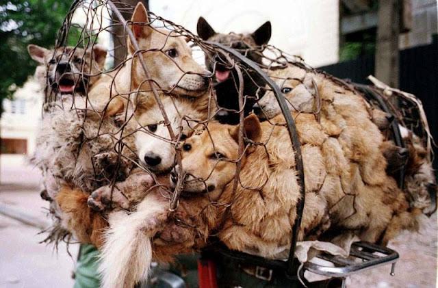 Kepercayaan Di Negara Vietnam, Makan Anjing Bisa Buat Awet Muda.