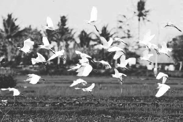 Burung-burung Sawah