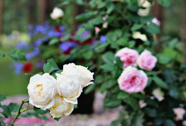 roses, gardening, david, austin, gardens, athomewithjemma.com