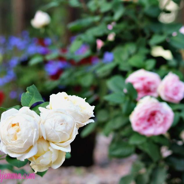 David Austin Roses For The Home & Garden|Gardening Series 4