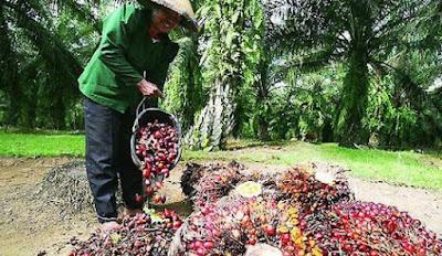 Lowongan Kerja Pabrik Kelapa Sawit PT Blangkara Rayeuk Aceh Timur