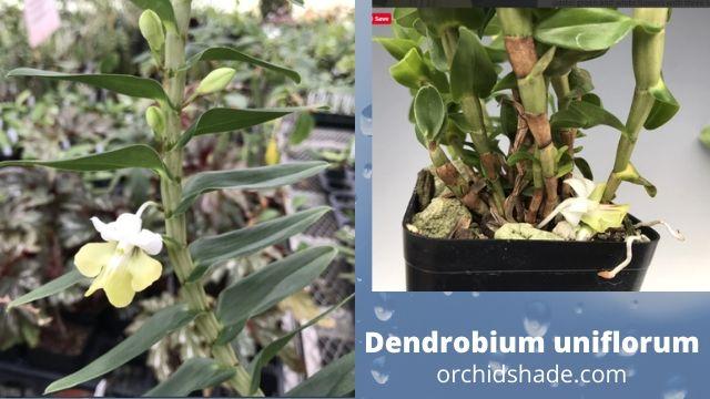Grow  longlasting flowers Dendrobium uniflorum Griff : Orchidshade