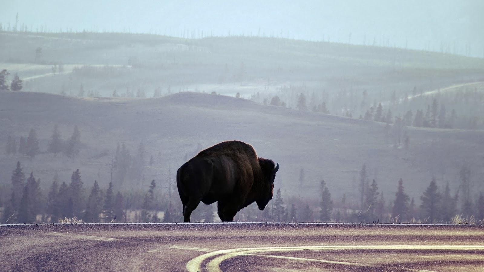 Desktop HD Wallpapers Free Downloads: American Bison HD ...
