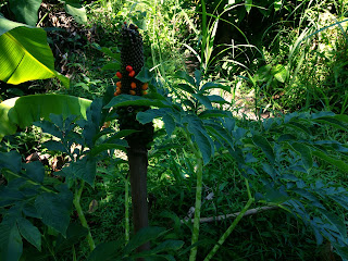 Amorphophallus Paeoniifolius (Suweg) Plant In The Farm Field