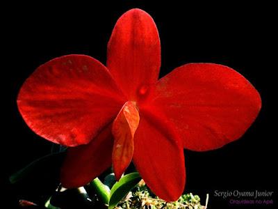 Orquídea Sophronitis coccinea