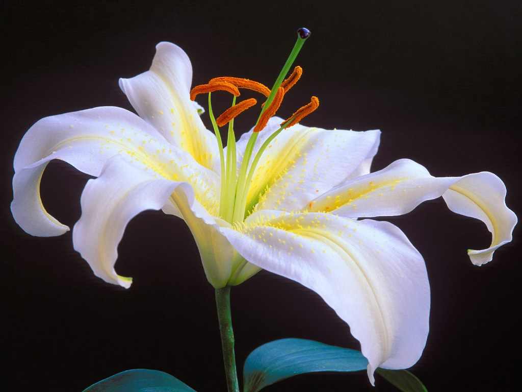 Lily Flower Wallpaper