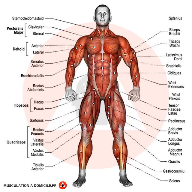 musculation à domicile anatomie nom des muscles vue de face