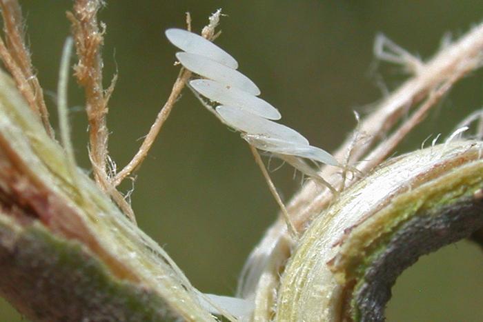 cicada eggs - photo #2
