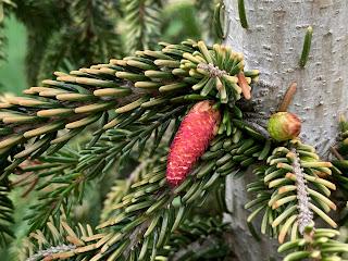 Picea orientalis 'Skylands' oriental spruce