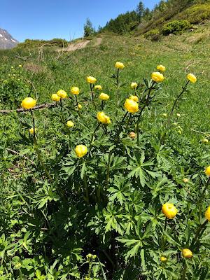 [Ranunculaceae] Trollius europeaus – Globeflower (Botton d'oro).