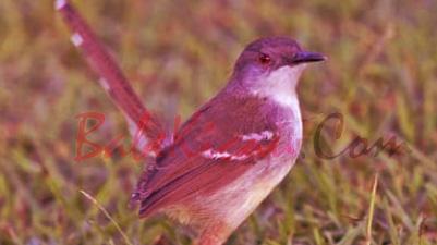 Cara Jitu Membuat Burung Ciblek Bahan Makan Voer Total