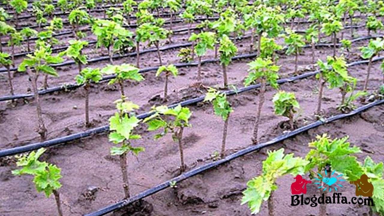 Cara menanam bibit anggur