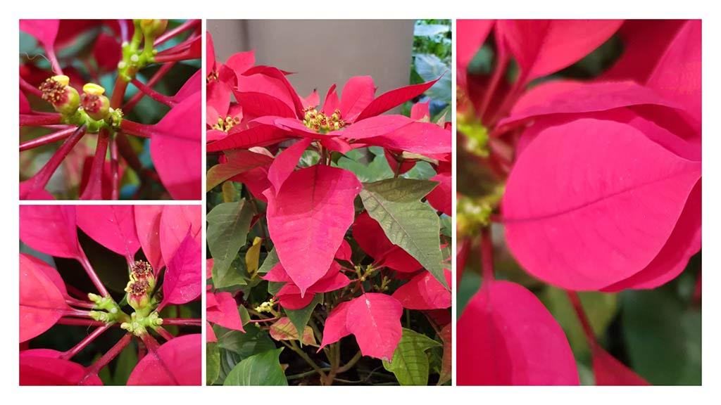 ดอกของต้นคริสต์มาส
