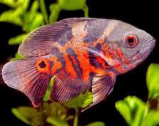 Jenis Ikan Hias Air Tawar Oscar