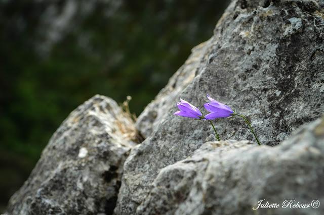Fleurs sauvages dans le Verdon