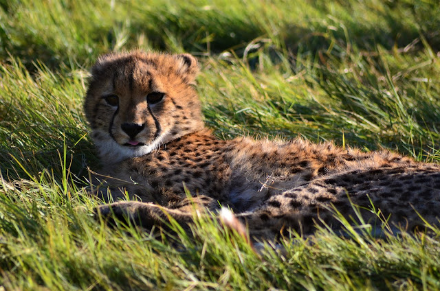 Baby Cheetah enjoying the breezing air and taking some rest