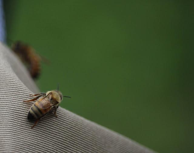 Mehiläisyhdyskunta