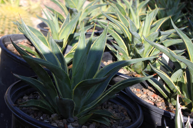 Agave desmetiana in 1 and 2 gal pots
