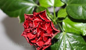 Čínska ruža - rozvíjajúci sa kvet