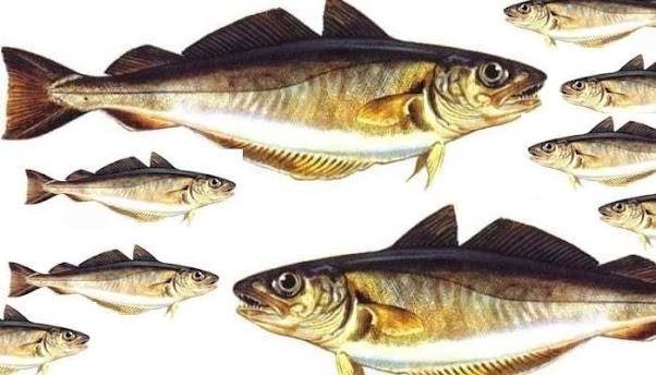 Mezgit Balığı Nedir? Mezgit Balığının Özellikleri Nelerdir? Mezgit Balığının Faydaları Nelerdir? Mezgit Balığının Zararları Nelerdir? Mezgit Balığı Nasıl Temizlenir? Mezgit Balığı Nasıl Pişirilir?