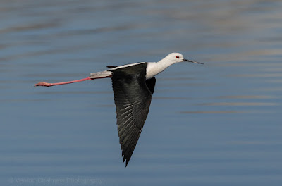 With Canon EOS R - Black-winged Stilt flying at pace