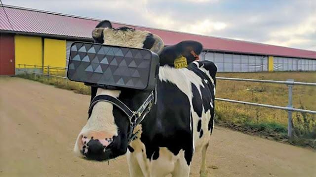 يستخدم مزارعو الألبان الروس نظارات الواقع الافتراضي لجعل أبقارهم أكثر سعادة !
