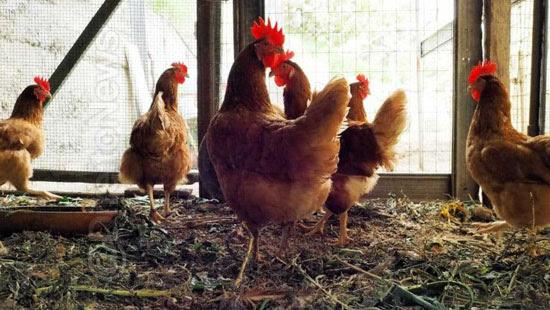 decisao emocionante juiz emancipa jovem galinheiro