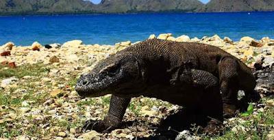 Ulang Tahun Taman Nasional Komodo ke-37
