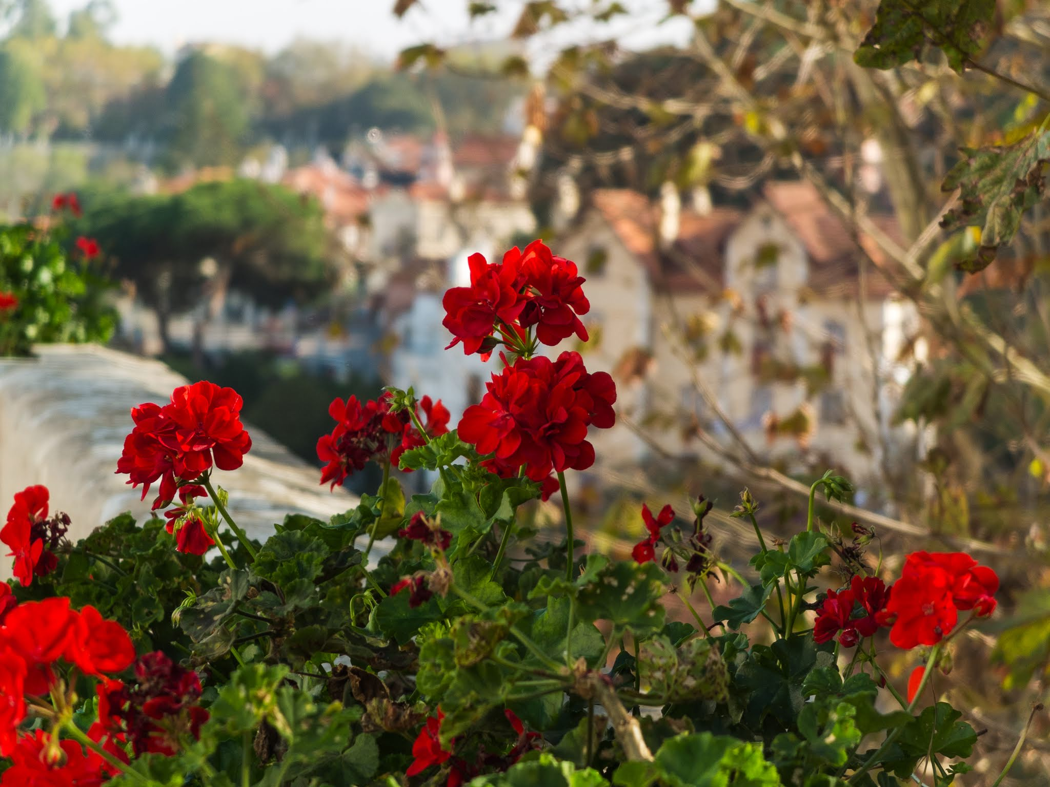 Close up of red Geraniums along a railing in Sintra, Portugal.