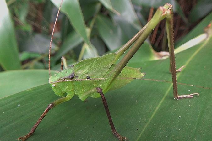 Dlium Malaysian bush-cricket (Mecopoda elongata)