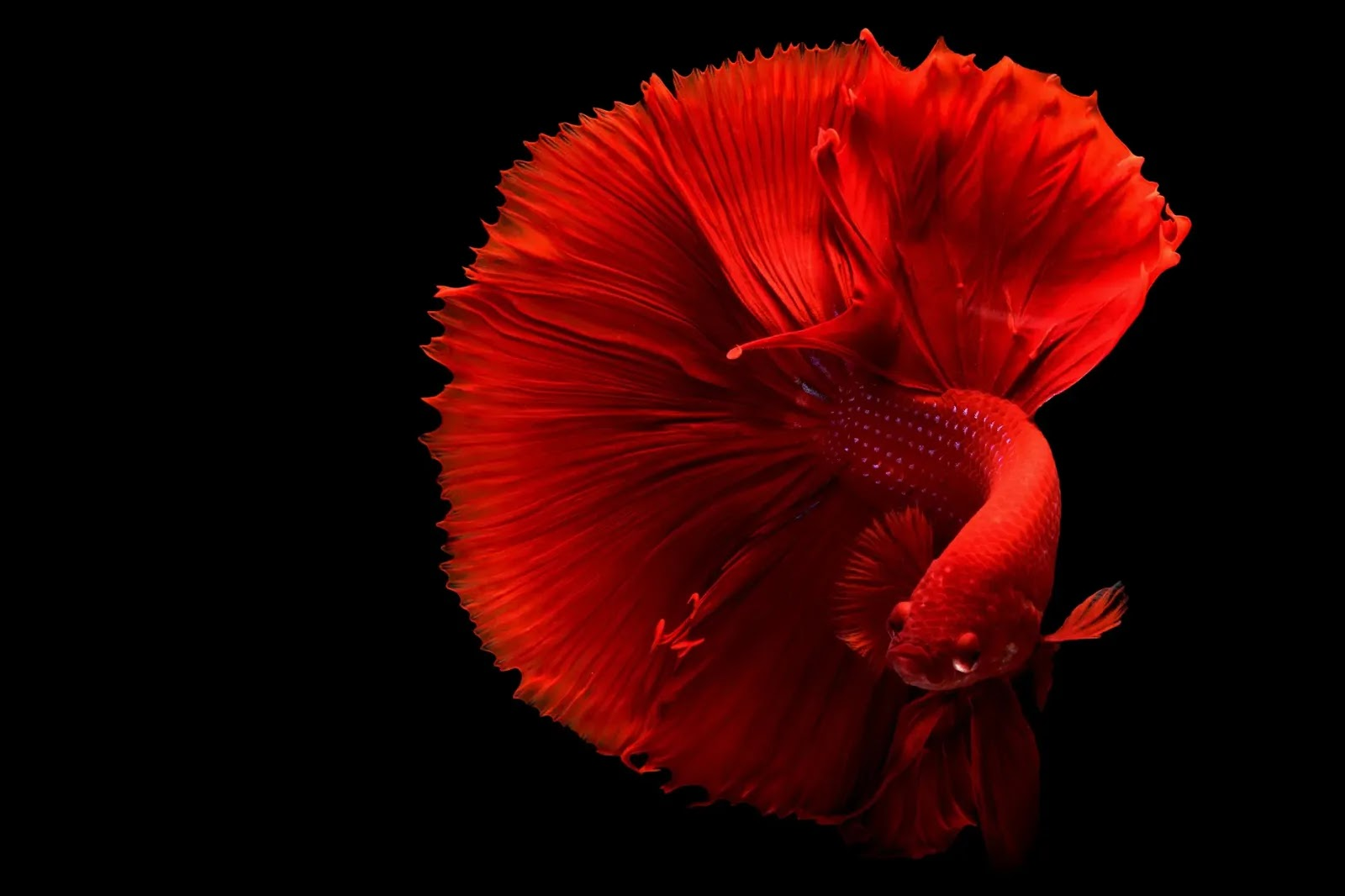 Pros and Cons of Buying a Betta Fish