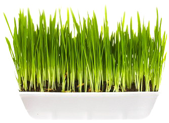 buy wheatgrass Aojiru - Japanese Young Barley green grass leaves powder juice