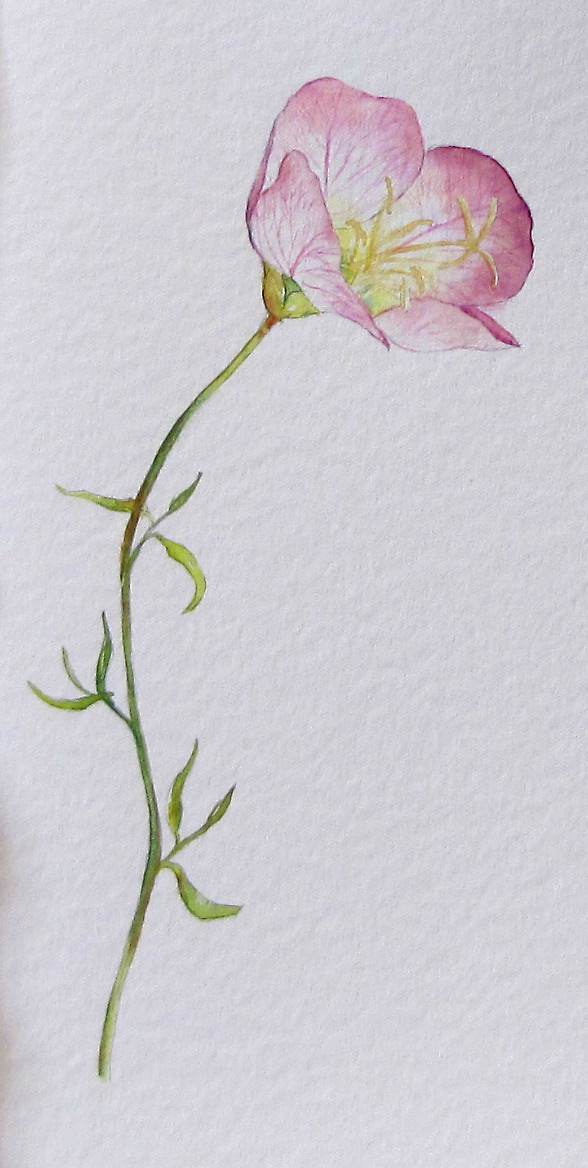 Blueberries, Art and Life: Evening Primrose, or - Paint ...