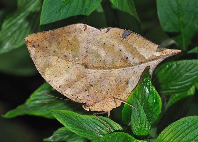 The Dead Leaf Butterfly is a master mimic.