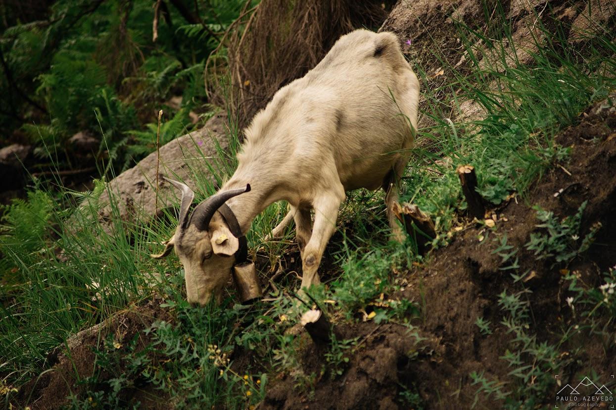 Cabra que encontramos pelo caminho