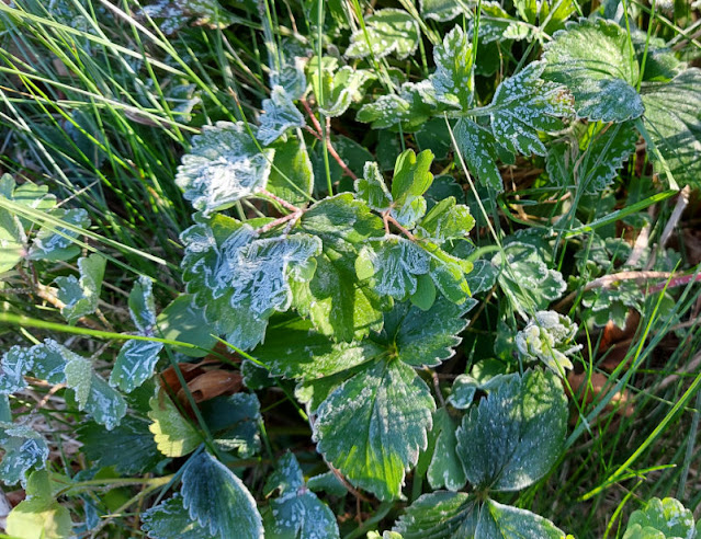 Frost on grass and strawberry plant leaves